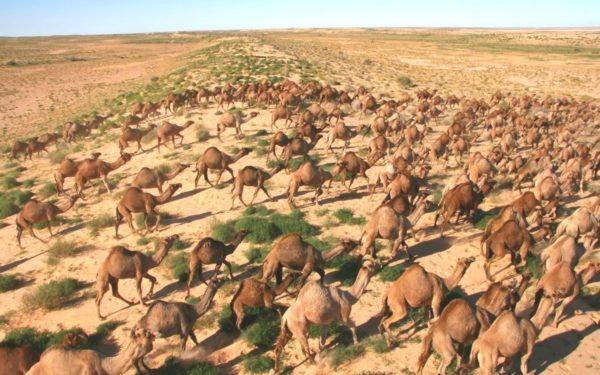 Australian Feral Camel Management Project